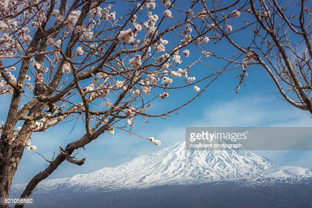 Mount Ararat with cherry blossoms foreground