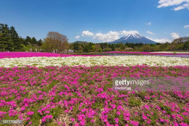 Mount Fuji and Pink Shibazakura in Spring Sunny Day near Motosu Lake, Fujinomiya, Shizuoka, Japan