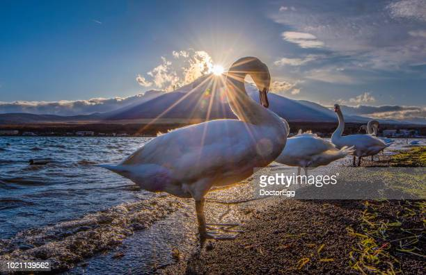 Mount Fuji and Swans with Diamond Fuji Phenomenon at Yamanaka Lake, Japan