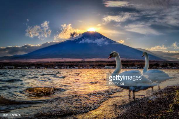 mount fuji and swans with diamond fuji phenomenon at yamanaka lake, japan - light natural phenomenon stock pictures, royalty-free photos & images