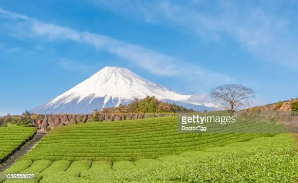 Mount Fuji and Tree Plantation in Summer at Fuji City, Shizuoka, Japan