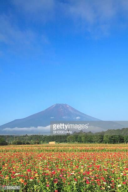 Mount Fuji and Zinnia flowers, Yamanashi Prefecture