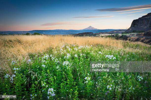 mount hood and summer flowers - columbia river gorge stock pictures, royalty-free photos & images