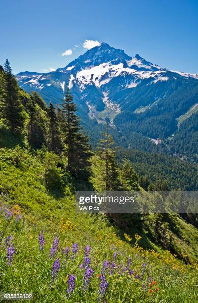 Mount Hood and wildflowers in meadow on Bald Mountain from Top Spur Trail Mount Hood National Forest Oregon