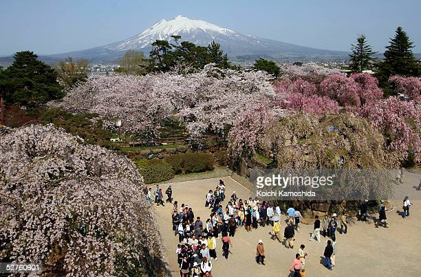 Mount Iwaki-san stands in the background during The Hirosaki Cherry Blossom Festival at Hirosaki Park on May 5, 2005 in Aomori Prefecture, Japan....