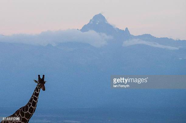 Mount Kenya the highest mountain in the country rises up behind a giraffe in the Ol Pejeta Conservancy on February 25 2016 in Nanyuki Kenya The east...