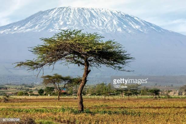 Mount Kilimanjaro with Acacia and little bird