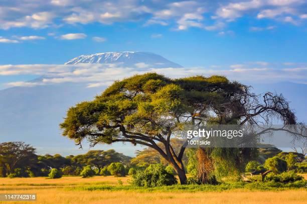 monte kilimanjaro con acacia - kenia fotografías e imágenes de stock