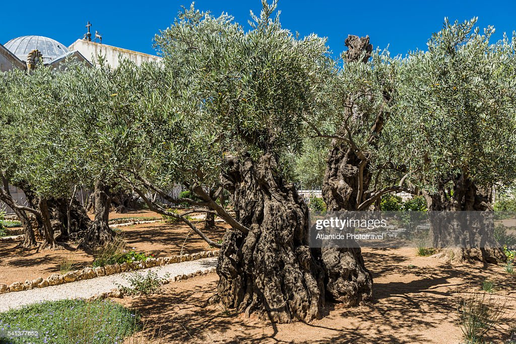 Attractive Garden Of Gethsemane. RF. Mount Of Olives, Church Of All Nations (also  Known As The Church Or Basilica Pictures