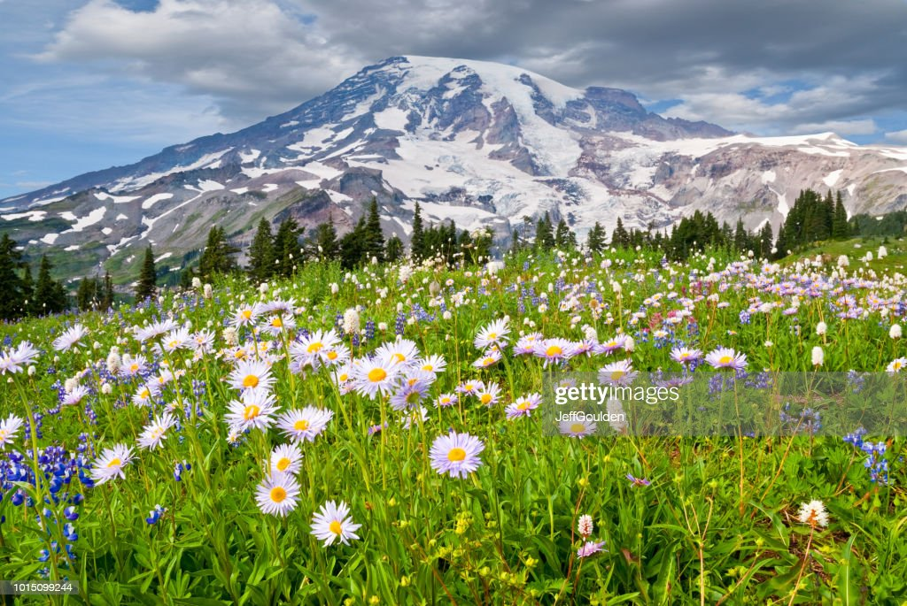 Mount Rainier and a Meadow of Aster : Stock Photo