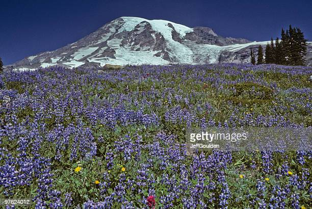 mount rainier and meadow of lupine - jeff goulden stock pictures, royalty-free photos & images