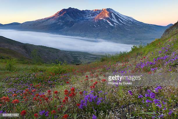 Mount St Helens and wild flowers