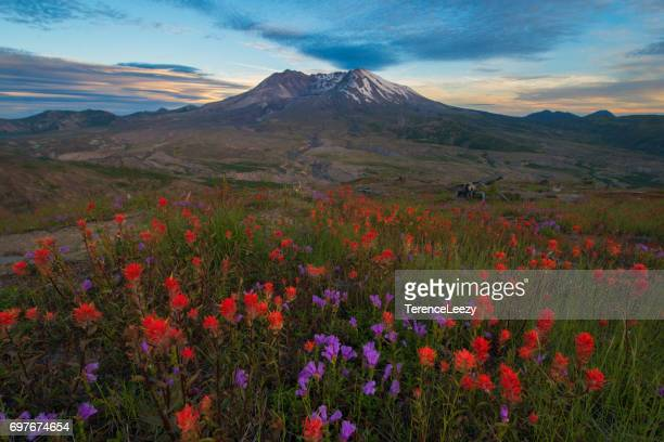 mount st. helens sunset with wildflowers - mount st. helens stock pictures, royalty-free photos & images