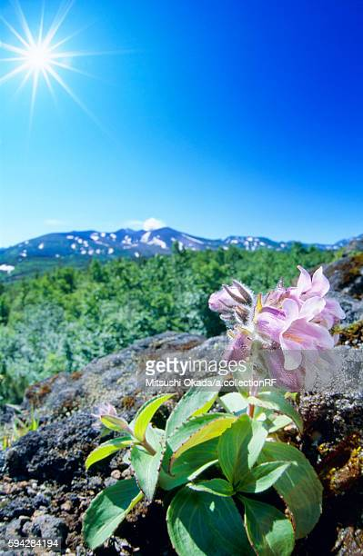 Mount Tokachi and Beard Tongue Flowers