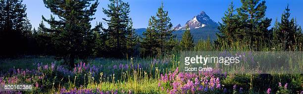 mount washington at sunrise above conifers, lupine and grasses - deschutes national forest stock pictures, royalty-free photos & images