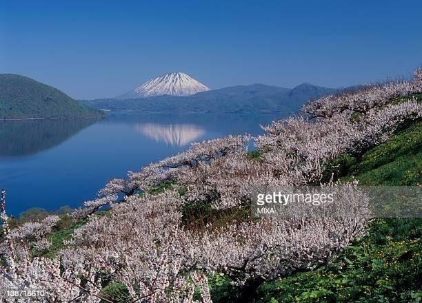 Mount Yotei and Japanese Apricot Blossom at Sobetsu Park, Sobetsu, Hokkaido, Japan