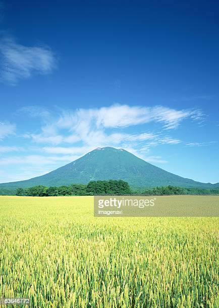 Mount Yotei and wheat field