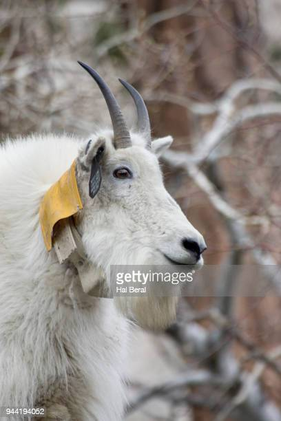 Mountai Goat with radio tracking color