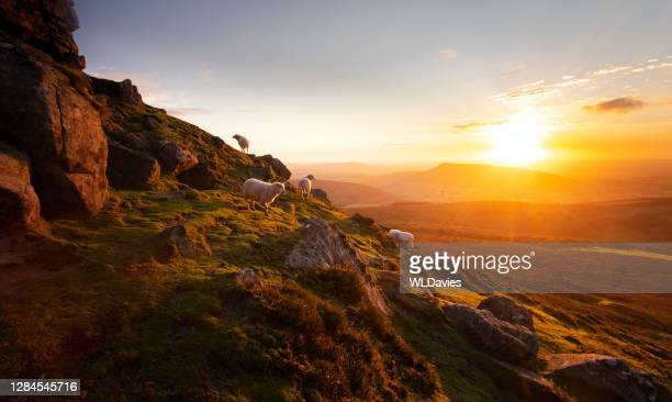 mountain and sheep in wales - brecon beacons stock pictures, royalty-free photos & images