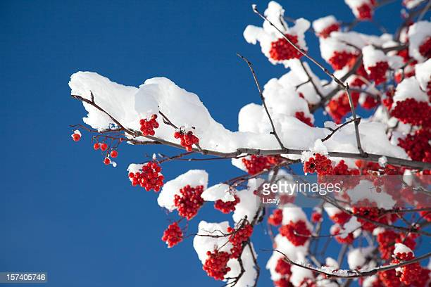 Mountain Ash Branch with Snow