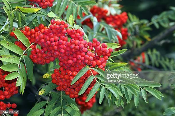 Mountain Ash Rowan tree with rowan berries fruits