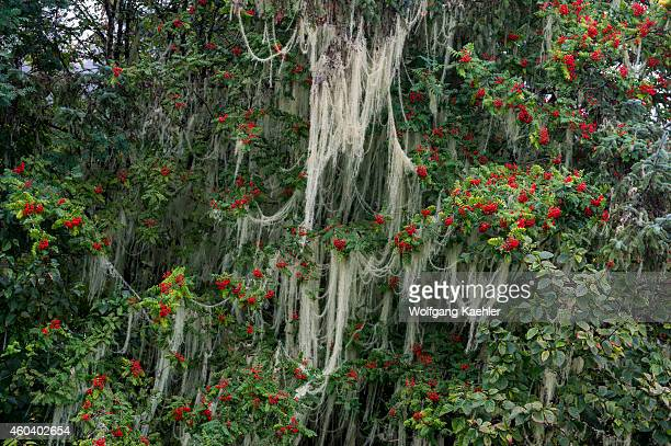 Mountain ash tree with berries covered with lichens in Wrangell city on Wrangell Island Tongass National Forest Southeast Alaska USA