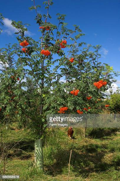 Mountain Ash tree with fruit on in a free range hen enclosure