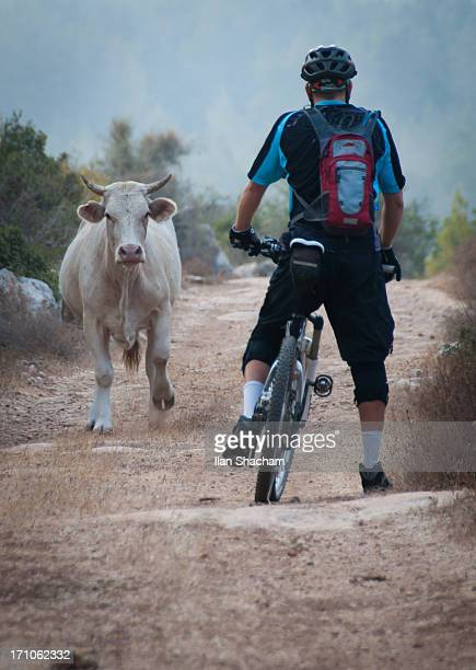 Mountain biker facing angry bull