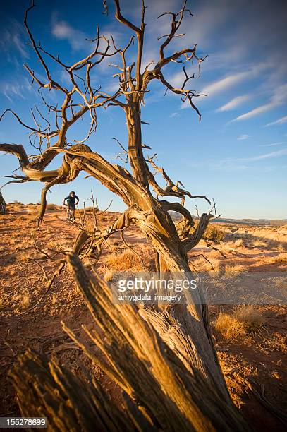mountain biking - western juniper tree stock pictures, royalty-free photos & images