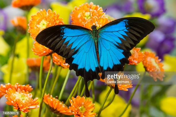 mountain blue butterfly (papilio ulysses) sitting on flower - ulysses butterfly stock pictures, royalty-free photos & images