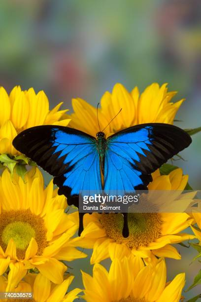 mountain blue butterfly (papilio ulysses) with opened wings sitting on sunflowers - ulysses butterfly stock pictures, royalty-free photos & images