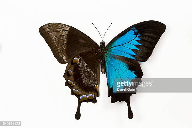 mountain blue swallowtail butterfly papilio ulysse - ulysses butterfly stock pictures, royalty-free photos & images