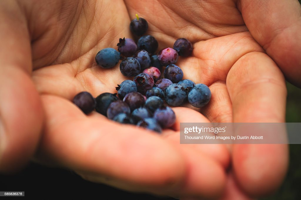 Mountain Blueberries : Stock Photo