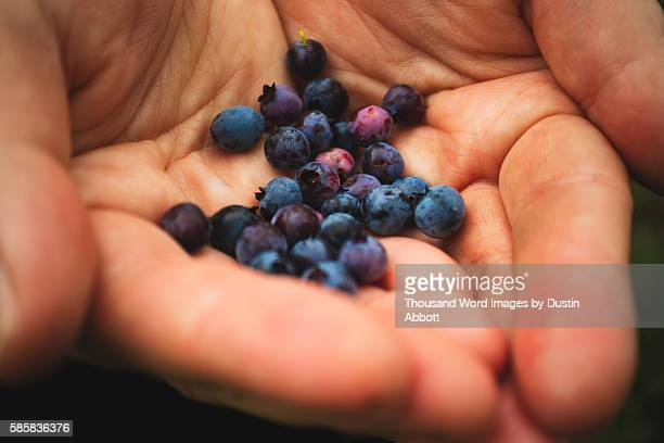 mountain blueberries - mont tremblant stock pictures, royalty-free photos & images