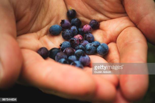 mountain blueberries - dustin abbott imagens e fotografias de stock