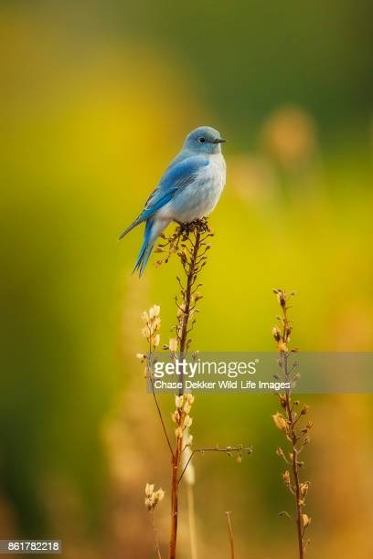 mountain bluebird - yellowstone national park stock pictures, royalty-free photos & images