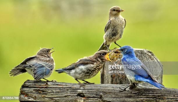 Mountain bluebirds in the wild