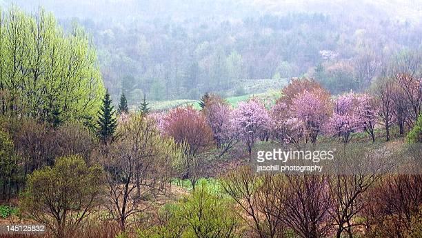 mountain cherry trees. - 八幡平市 ストックフォトと画像