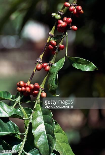 Mountain Cofee Rubiaceae