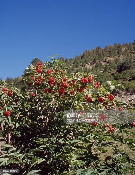 Mountain Elderberry and Red Elderberry Caprifoliaceae