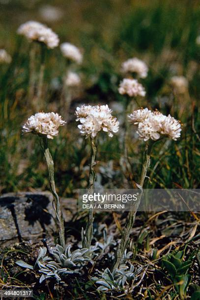 Mountain Everlasting or Catsfoot Asteraceae