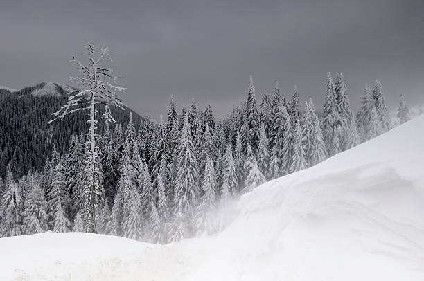 Mountain fir forest in winter season
