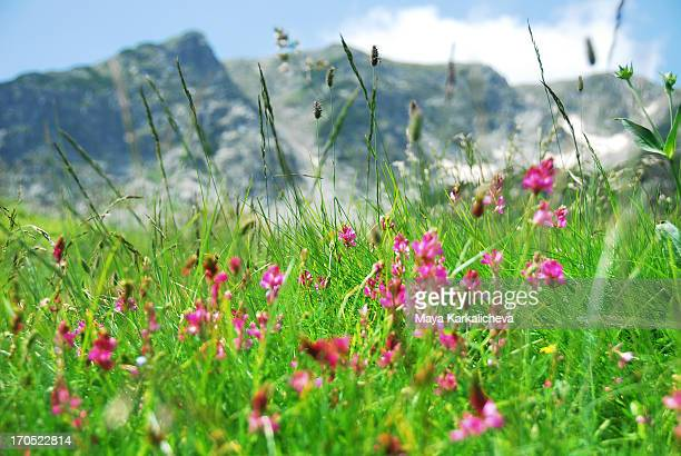mountain flowers and peaks - pirin national park stock pictures, royalty-free photos & images
