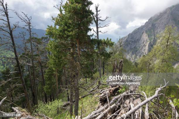 mountain forest on the slopes of acheshbok, caucasus mountains - argenberg stock pictures, royalty-free photos & images