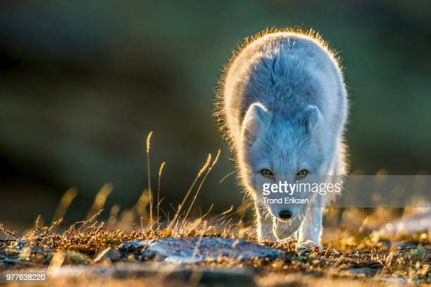 mountain fox in low sunlight - arctic fox stock pictures, royalty-free photos & images