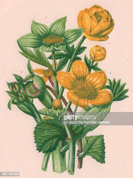 1 Mountain globe flower 2 Marsh marigold 3 Green hellebore 4 Stinking hellebore chromolithograph ca cm 14x22 from The Flowering Plants Grasses Sedges...
