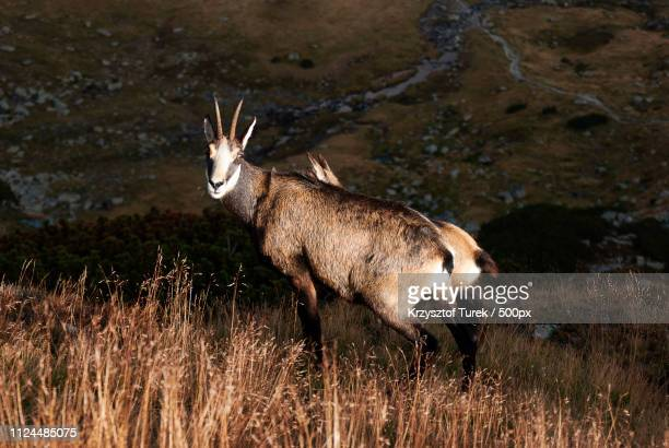 mountain goat at sunset - krzysztof turek stock pictures, royalty-free photos & images
