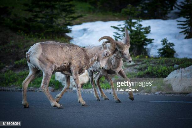 Berggeit eten gras in Glacier National Park