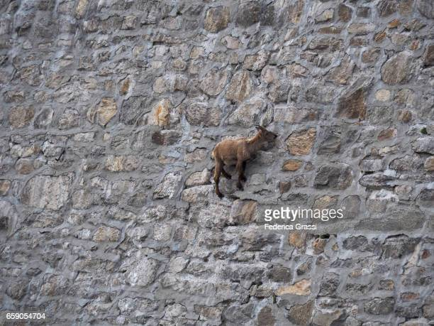 Mountain Goat Fearlessly Defying Gravity On A Steep Dam Wall