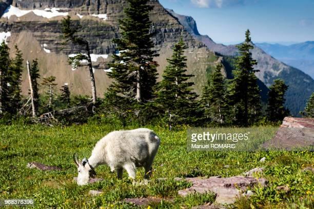 Mountain goat, Glacier National Park, US